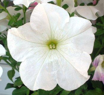 FOTKA - Květ bílé petunky