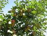 Jablka ještě na stromě