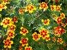 afrikány mají krásné květy-13
