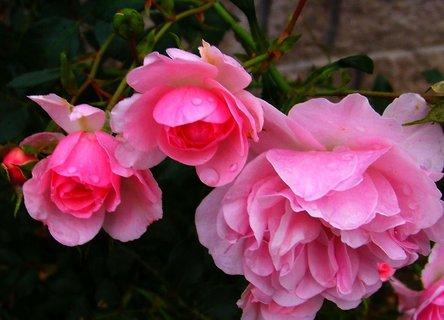 FOTKA - jemně růžové růžičky v plném květu
