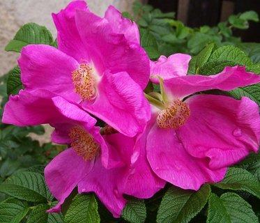 FOTKA - šípkové růže rozkvetly ...,,