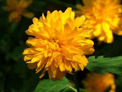 FOTKA - květ zákuly..