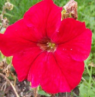 FOTKA - procházka 25.9.2012, růžová petunka..