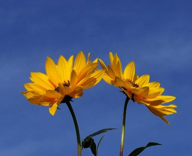 FOTKA - procházka 25.9.2012, dvě malé, vysoké slunečnice..