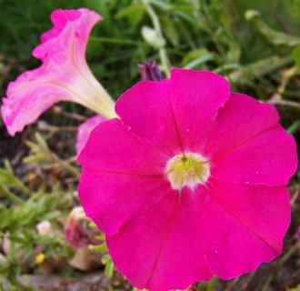 FOTKA - procházka 25.9.2012, květy růžové petunie..
