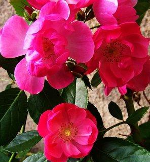 FOTKA - 25.9.2012, květy pnoucí růže..