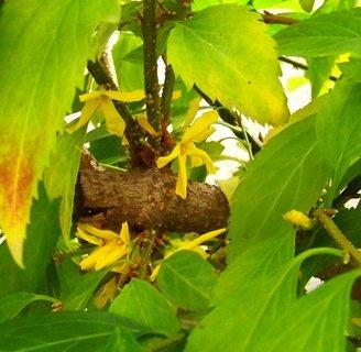 FOTKA - 26.9.2012, náš zlatý déšť - květy jako na jaře....
