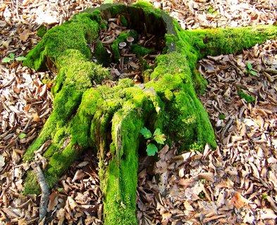 FOTKA - procházka lesem 28.9.2012, zelený pařez s houbičkami uvnitř..