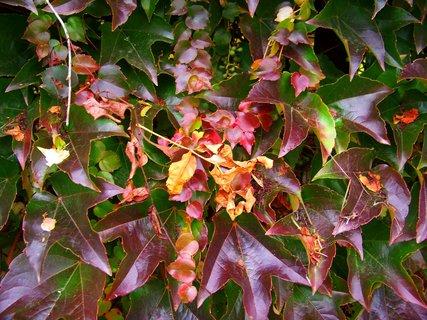 FOTKA - barevný břečťan na plotě