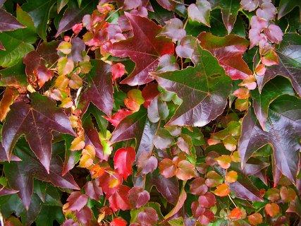 FOTKA - podzimní brečťan...