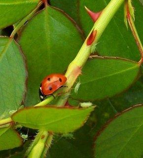 FOTKA - Berušinka loví na růži mšice