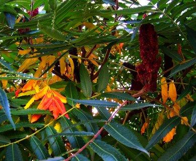 FOTKA - podzimní škumpa,..