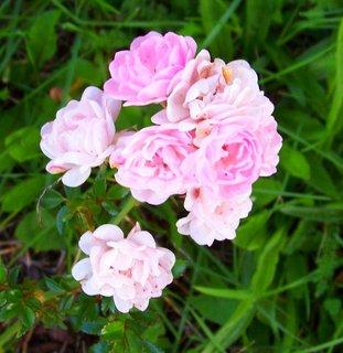 FOTKA - jemná barva růžičky..