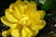 plnokvětý tulipán žlutý