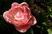 plnokvětý tulipán růžový