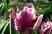 vosa a tulipán