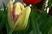 tulipán 44