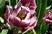 tulipán 46
