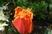 tulipán 47
