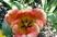 tulipán 48