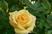 první růže
