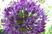 květ česneku