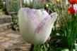 tulipán 42