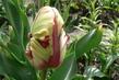 papouškový tulipán