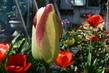 tulipán 43