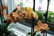 orchidej 19