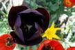 tulipán 49