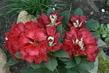 skalkový rododendron,rudý