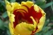 tulipán 51