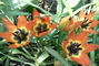 skalkové tulipány