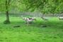 Bílí jeleni