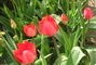 Červené tulipány.