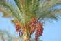 Palmička