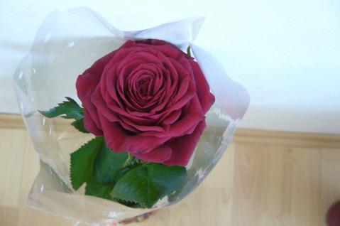 FOTKA - květ růže