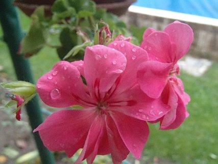 FOTKA - Kvapky po daždi na muškáte