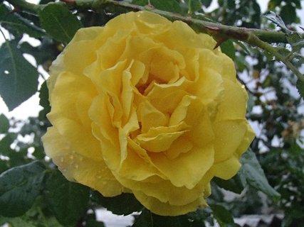 FOTKA - kvapky na ruži