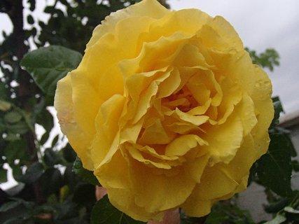 FOTKA - orosená ruža