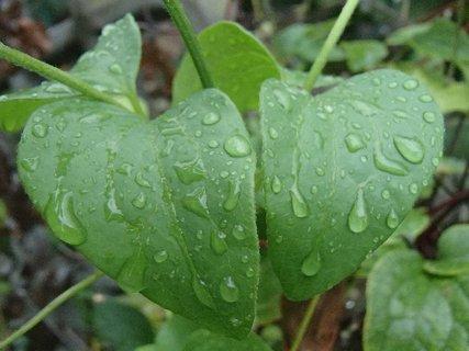 FOTKA - kvapky dažďa na liste.
