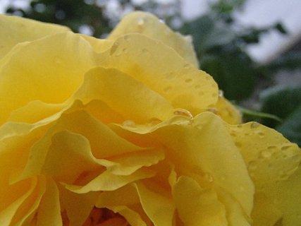 FOTKA - orosené lupene ruže