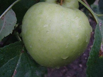 FOTKA - jablko a kvapky dažďa