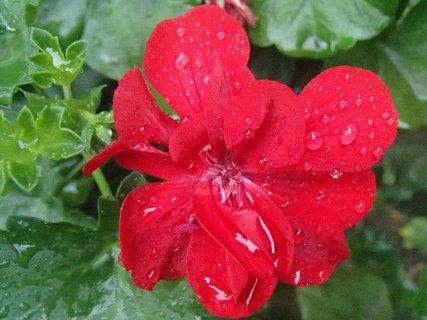 FOTKA - muškát po daždi....