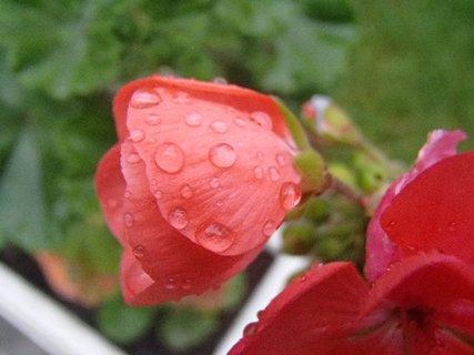 FOTKA - muškát po daždi.....