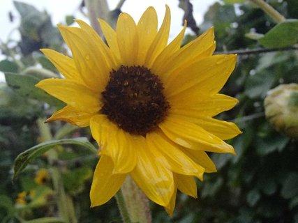 FOTKA - slnečnica po daždi