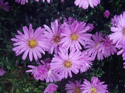 FOTKA - fialová náhhera po daždi