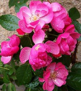 FOTKA - růžičky po dešti..