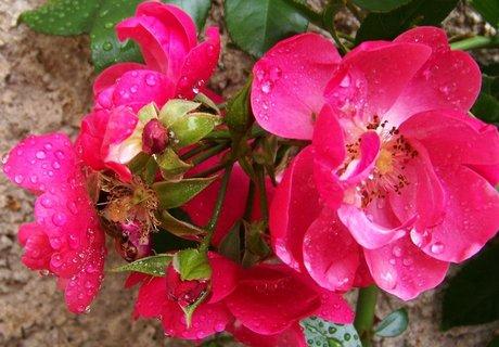 FOTKA - zahrádka, pnoucí růže..